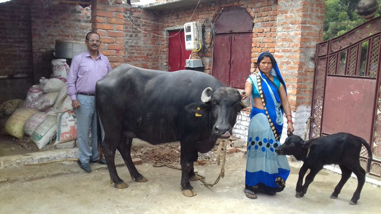 SS Calf, Mother and Farmer