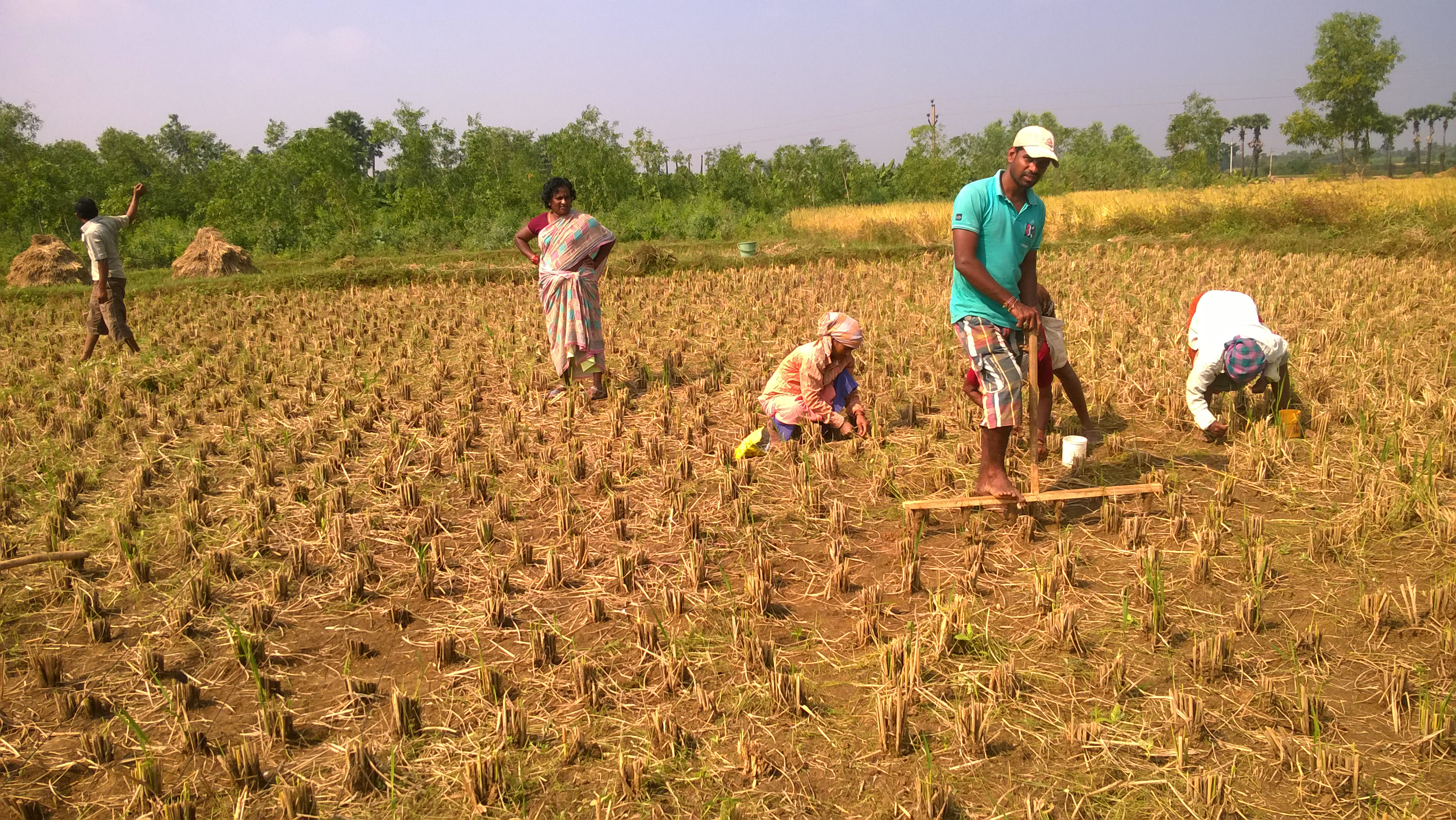 Zero tillage Maize – Making holes with wooden peg marker (3)