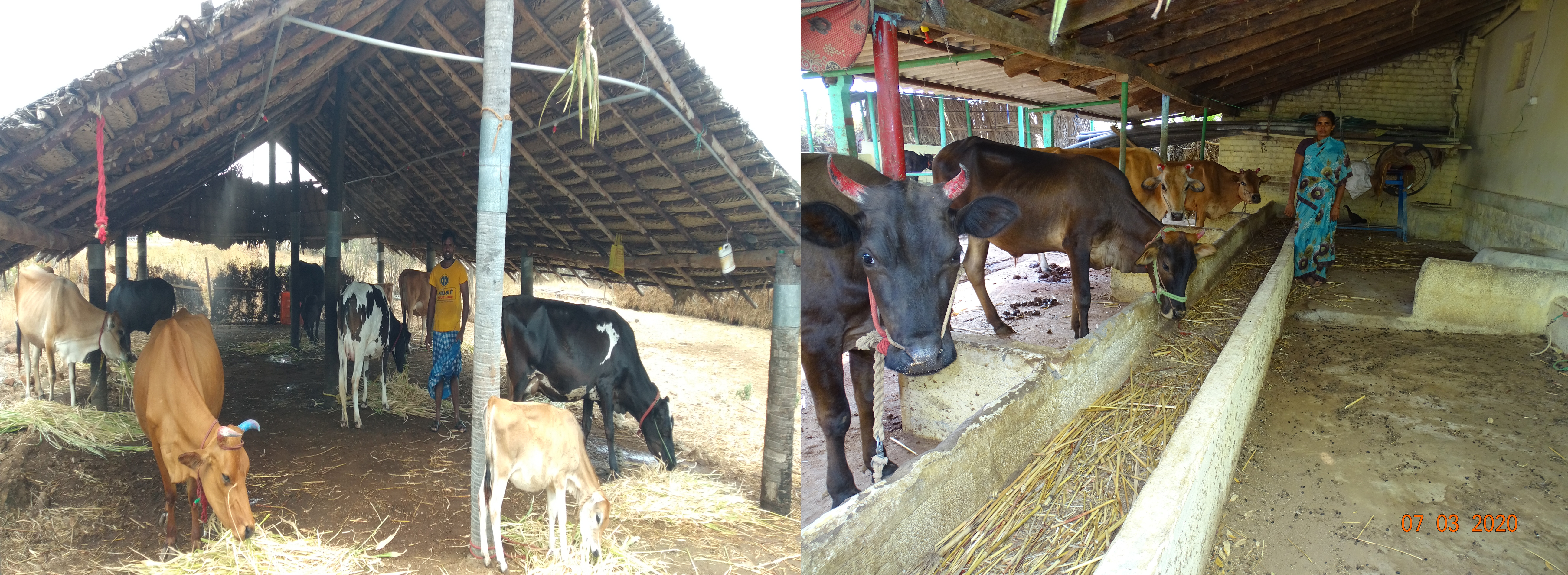 Scientific dairy shed