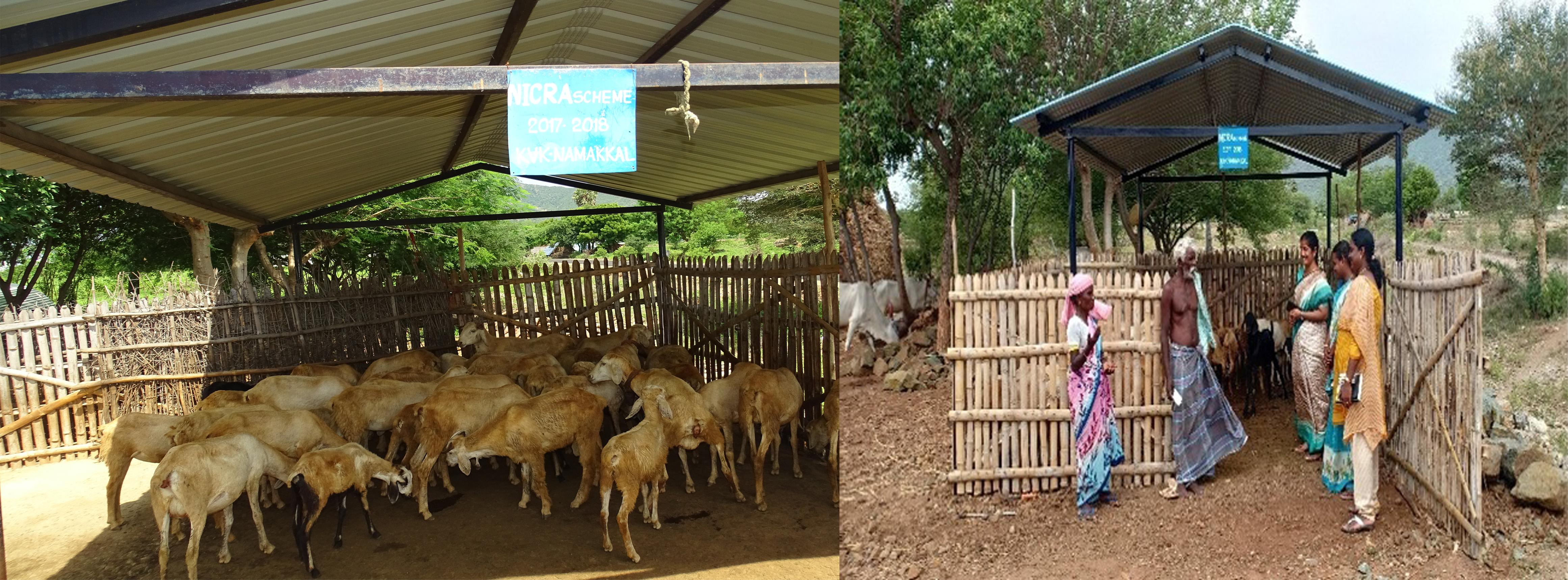 small ruminants shed