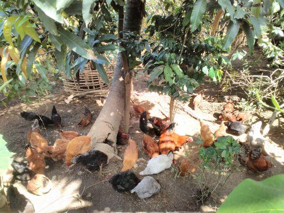 A_Bird_Eye_View_of_Backyard_Poultry_Unit_-_Copy
