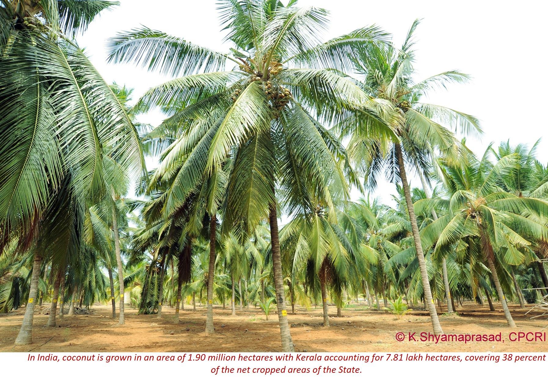 Coconut plantation2