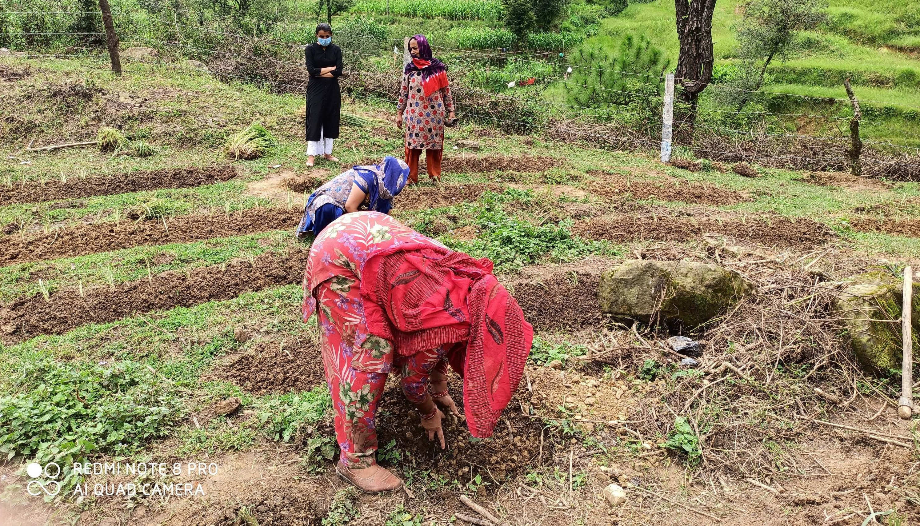 Planting of Fodder Roots