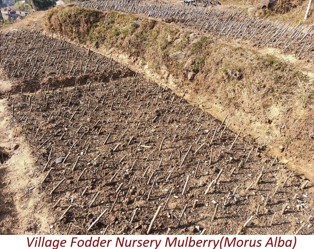 Village Fodder Nursery Mulberry(Morus Alba)