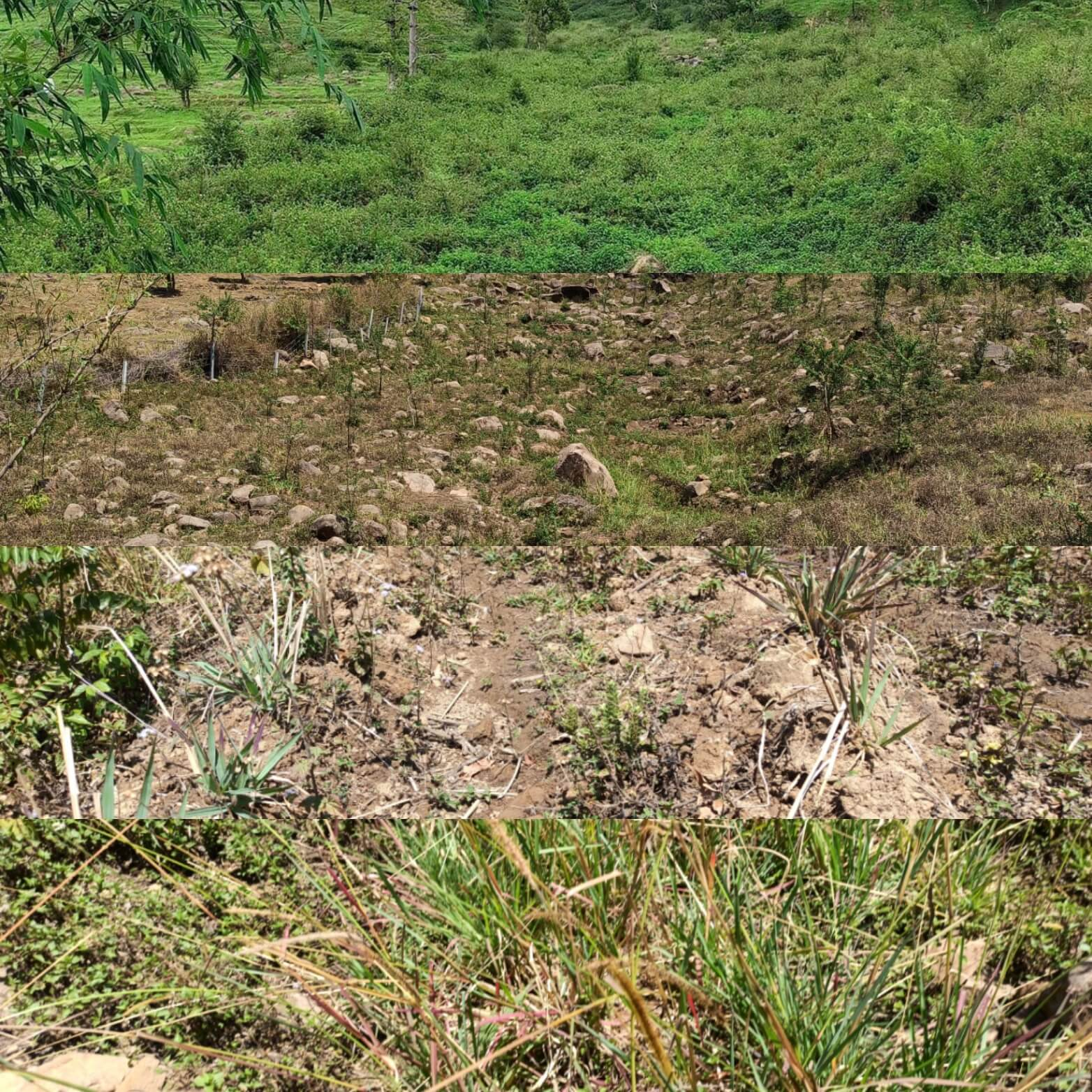 Weed infested area into community fodder bank