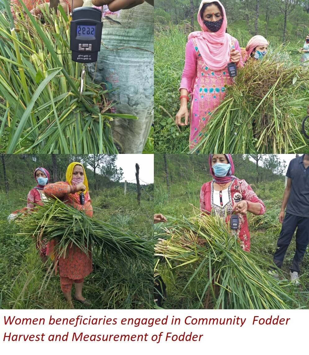 Women beneficiaries engaged in Community Fodder Harvest and Measurement of Fodder