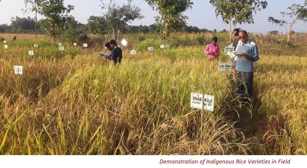 Demonstration of Indigenous Rice Varieties in Field