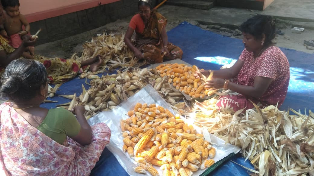 Maize added to diet diversity and as intercrop in coconut gardens