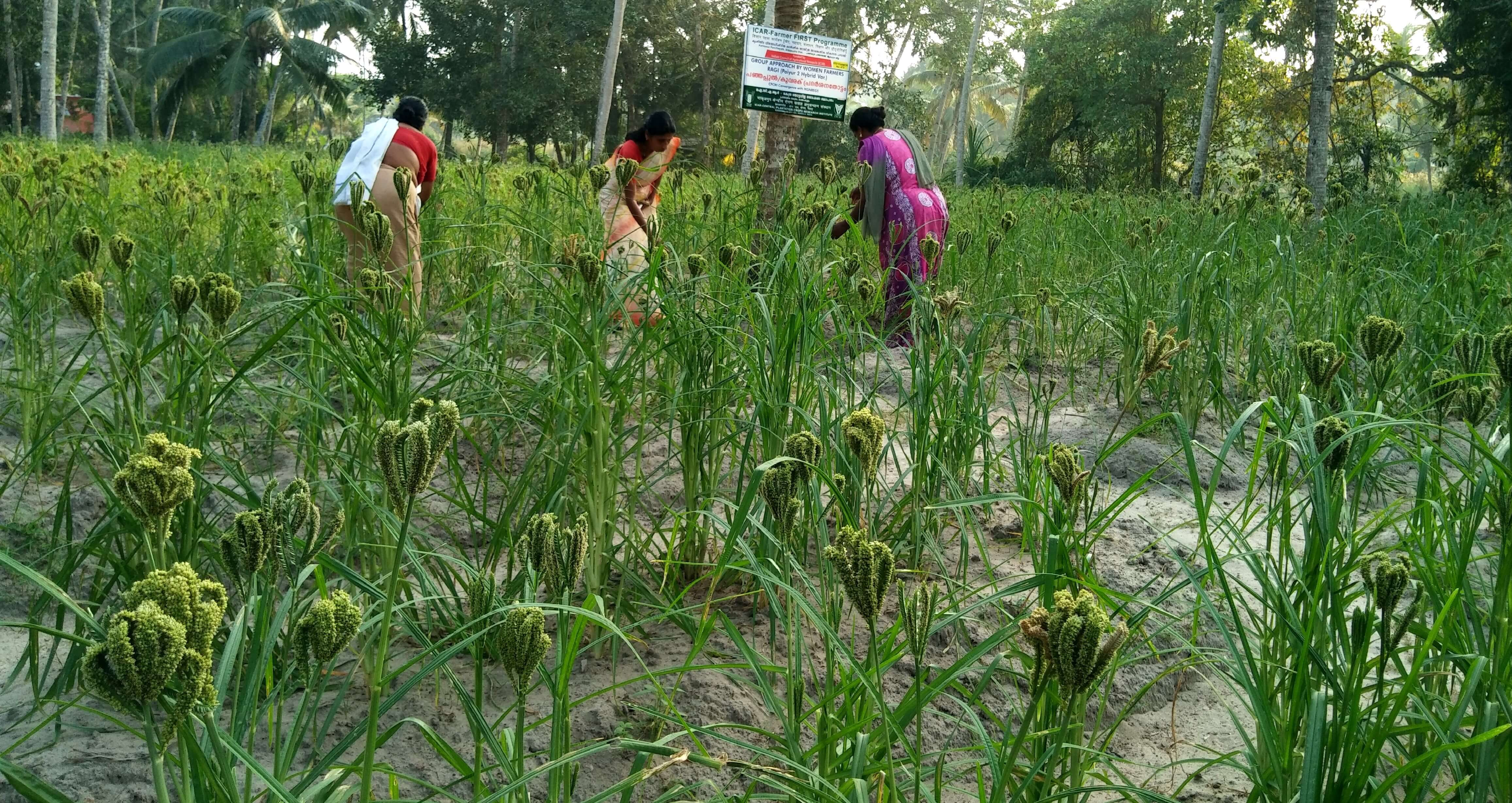 Succesful introduction of finger millet in coconut gardens in FFP MGNREGS convergence (1)